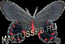 Бабочка парусник кочубей (Pachliopta kotzebuea)