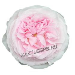 Пионовидная роза Keira
