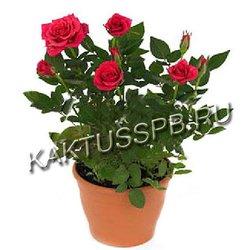 Красная роза в горшке (кордана)