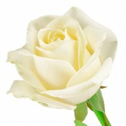 Белая роза Anastasia. Эквадор