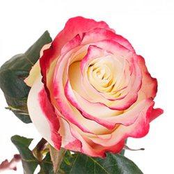 Розовая роза Sweetness. Эквадор