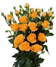 Желтая кустовая роза Abeba. Кения