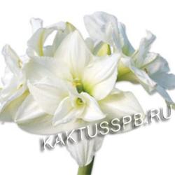Амариллис белый фото 1