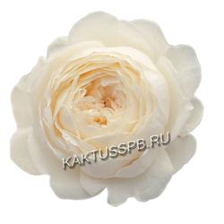 Пионовидная роза Patience
