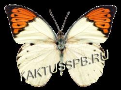 Бабочка белянка (Hebomoia Glaucippe)