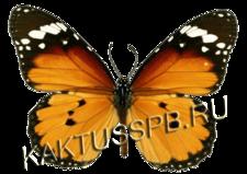Бабочка данаида хризипп (Danaus chrysippus)