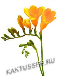 Фрезии желтые