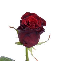 Бордовая роза Grand Prix. Россия