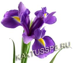 Ирис фиолетовый