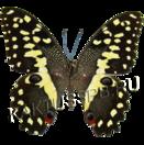 Бабочка Лимонный парусник (Papiplio demoleus)