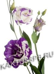 Лизиантус бело-фиолетовый