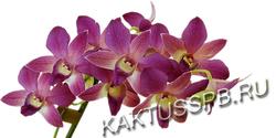 Орхидея Дендробиум сиреневая