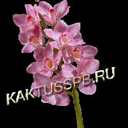 Орхидея Цимбидиум сиреневая