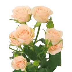 Кустовые розы кремовые.