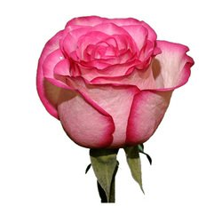 Розовая роза Carousel. Эквадор