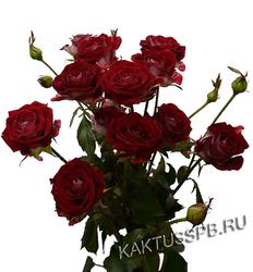 Бордовая кустовая роза.
