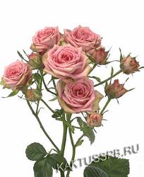 Розовая кустовая роза Creamy Twister. Кения