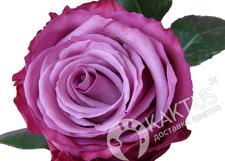 Сиреневая роза Queen of the Night. Эквадор