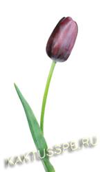 Фиолетовый тюльпан.