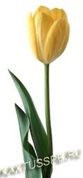Жёлтый тюльпан.