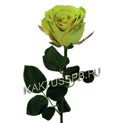 Зеленая роза Green Tea. Эквадор