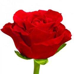 Краcная роза El Toro. Эквадор