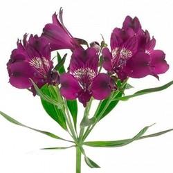 Альстромерия фиолетовая