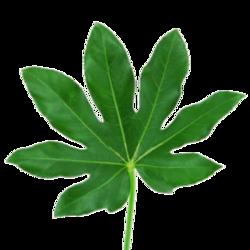 Декоративная зелень аралия