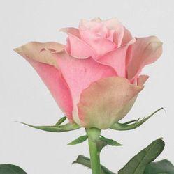 Розовая роза Belle Rose. Кения