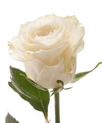 Белая роза Mondial. Эквадор