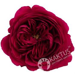 Пионовидная роза Darcey