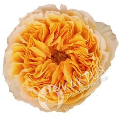 Пионовидная роза Beatrice