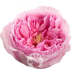 Пионовидная роза Miranda