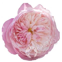 Бледно-розовая пионовидная роза