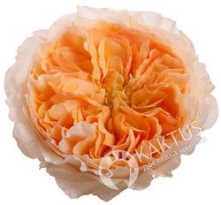 Пионовидная роза Edith