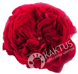 Пионовидная роза Tess