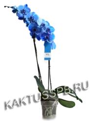 Орхидея фаленопсис синяя двухствольная в горшке