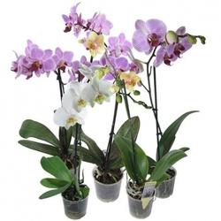 Орхидея фаленопсис (одноствольные)
