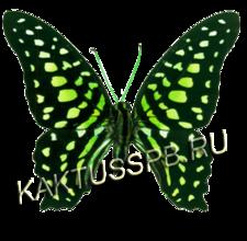 Бабочка графиум (Graphium agamemnon)