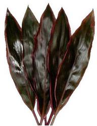 Декоративная зелень корделина коричневая