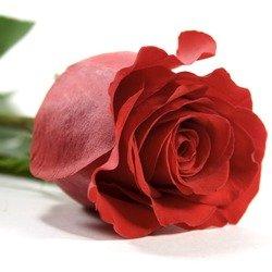 Продажа красных роз фридом фото 1