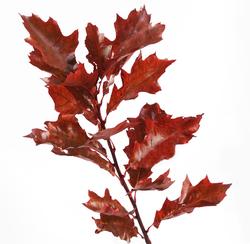 Декоративная зелень листья дуба крашенные