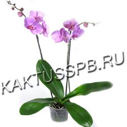 Сиреневая орхидея фаленопсис двухствольная