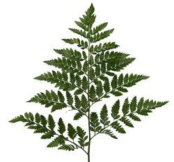 Декоративная зелень папоротник