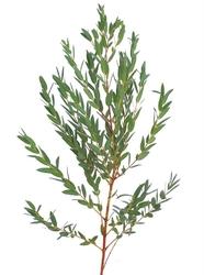 Декоративная зелень эвкалипт парвифолия