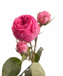 Пионовидная роза Pink Piano