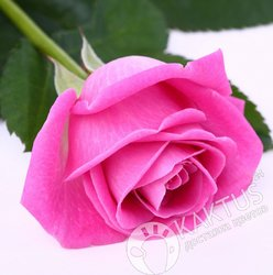Розовая роза 60 см