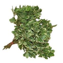 Декоративная зелень питтоспорум бон