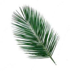Декоративная зелень робелини
