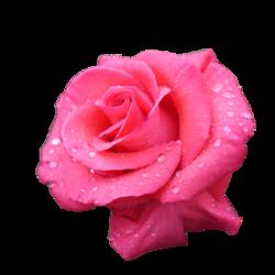 Розовая роза Aqua. Россия
